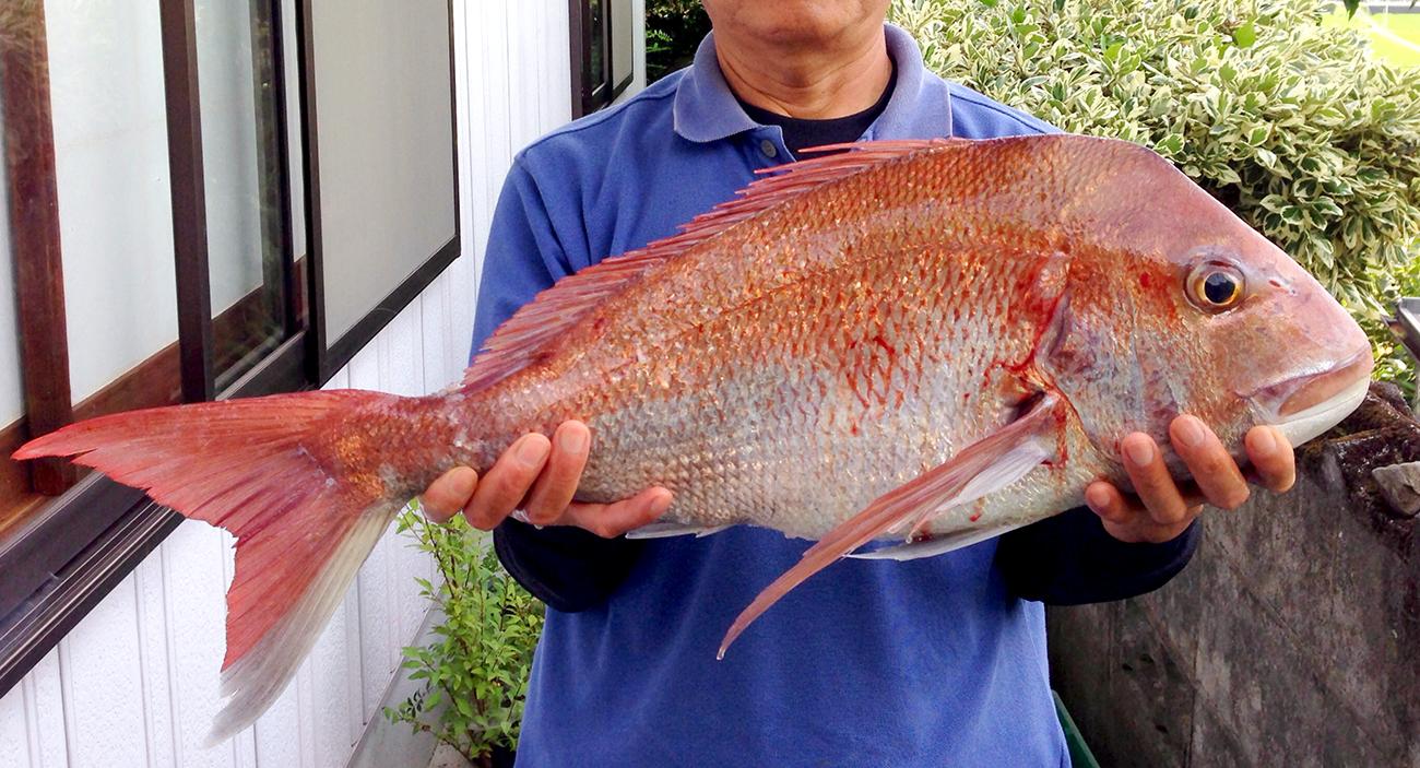 70cmの鯛