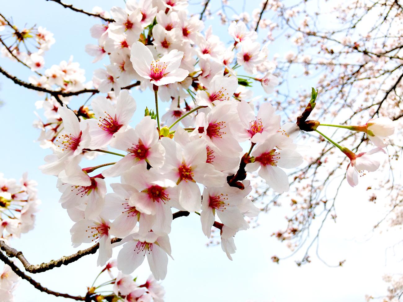 石手川公園の桜