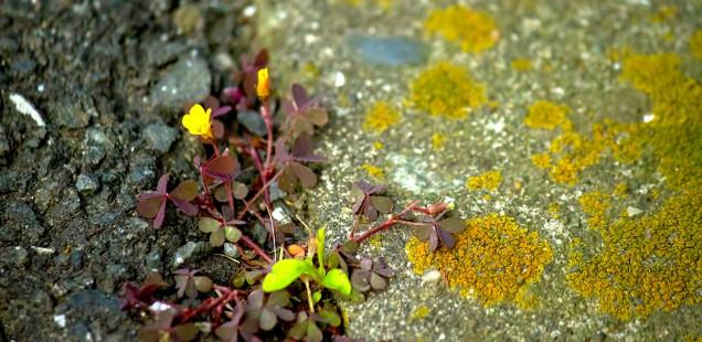 アスファルトに咲く雑草